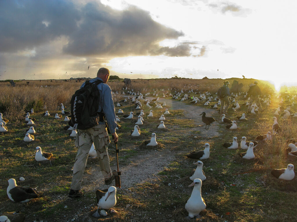Midway Atoll evening albatross counting