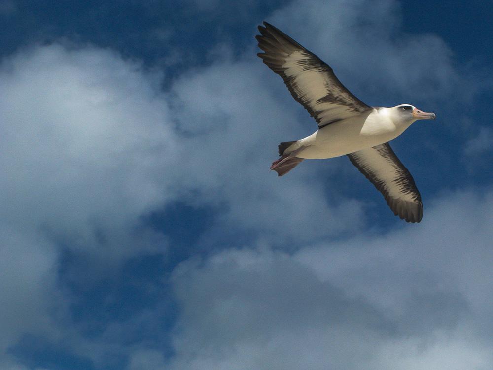 Laysan albatross in flight Midway Atoll