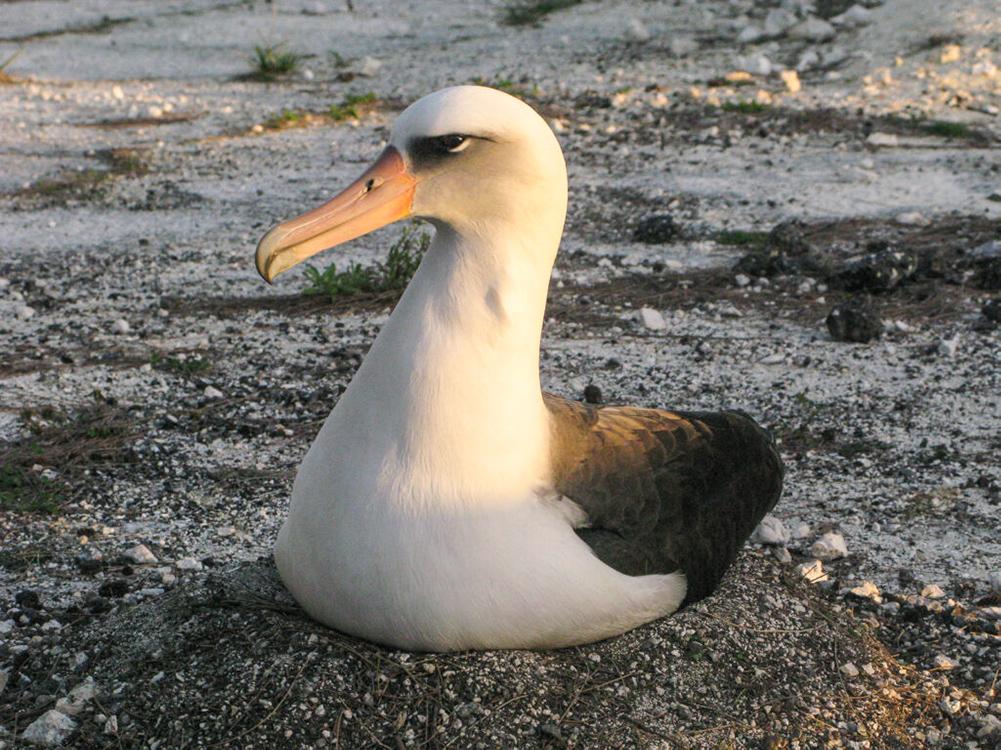 Laysan Albatross, Midway Atoll
